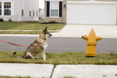 Brown dog at fire hydrant Royalty Free Stock Photography