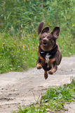 Brown dog is flying Stock Photos