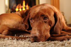 Brown Dog in front of the fire place. Brown Hungarian Vizsla dog with puppy eyes sitting in front of the fire place royalty free stock photo