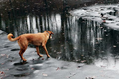 Brown dog on a frozen lake watching a duck on the other side. Royalty Free Stock Photo