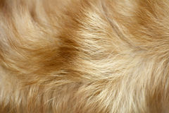 Brown dog fur background. Top view of brown dog fur background Royalty Free Stock Photo