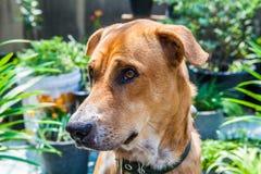 Brown dog in the garden. Cute Brown dog in the garden closeup Royalty Free Stock Photos