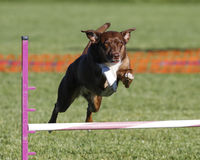 Brown dog going over a jump Royalty Free Stock Images