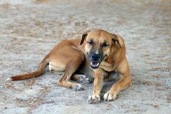 Brown dog good mood and smiling dog. The Brown dog good mood and smiling dog royalty free stock images