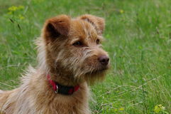 Brown dog in the green grass. Green background. Attentive brown dog waiting in green grass. Green background Stock Images