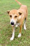 Brown Dog on grass Stock Photos