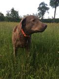 Brown dog grassy field Royalty Free Stock Image