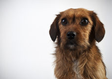 Brown dog on gray background Royalty Free Stock Images