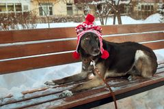 A brown dog in a hat in winter lies on a bench. A large brown dog in a red and white hat with pompoms lies in the winter on a bench Stock Images