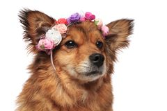 Brown dog head with colorful flowers crown looking to side. Brown metis dog head with colorful flowers crown looking to side on white background Royalty Free Stock Images