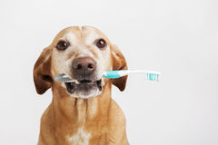 Brown dog holding a toothbrush. Brown dog holding a toothbrush on a bright background. Health care royalty free stock photos