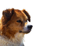 Brown dog isolated royalty free stock images