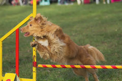 Brown dog is jumping Royalty Free Stock Image