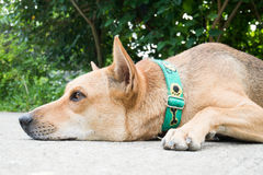 Brown dog lay down on the floor. Cute animal and pet Stock Images