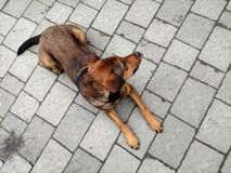 Brown dog laying on concrete pavement. Top view.  Stock Photo
