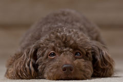 Brown dog laying down 3 Royalty Free Stock Images
