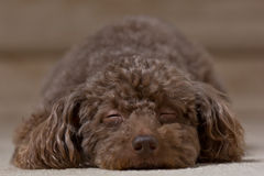 Brown dog laying down sleeping 2 Royalty Free Stock Photography