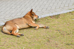 Brown dog laying on the grass Royalty Free Stock Image