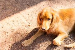 Brown dog is laying on the ground Stock Images
