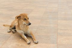 Brown dog lie down on the ground. Under sun light Royalty Free Stock Photos