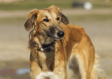 Brown dog with long legs standing on a gray sand Royalty Free Stock Images