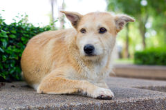 Brown dog looking away Royalty Free Stock Images