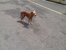 Brown dog looking down standing in the middle of the concrete road Royalty Free Stock Photo