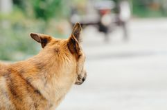 Brown dog is looking something to eat in the afternoon. Because he is hungry Royalty Free Stock Photo