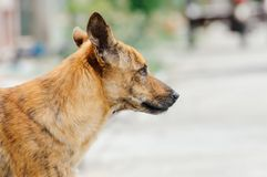 Brown dog is looking something to eat in the afternoon. Because he is hungry Stock Photo