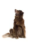 Brown Dog Looking Up Royalty Free Stock Photo