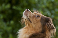 Brown dog looking up Royalty Free Stock Images