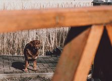Brown dog looks out of the slot of the fence royalty free stock images