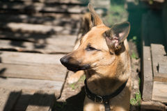 Brown dog. Lovely pet on wooden background Stock Image