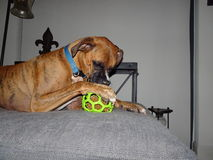 Brown dog loves his chew toy Royalty Free Stock Photos