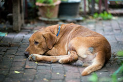 Brown dog lying. Royalty Free Stock Photography
