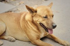 Brown dog lying on the floor of the cement. Royalty Free Stock Images