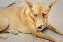 Brown dog lying on the floor of the cement. Royalty Free Stock Photos