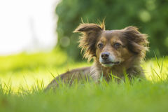 Brown dog lying in the grass. Brown dog lying in the green grass Stock Image
