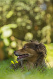 Brown dog lying in the grass. Smelling yellow flowers Royalty Free Stock Photo