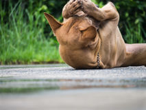 Brown Dog Lying on The Ground. The Brown Dog Lying on The Ground Royalty Free Stock Photos