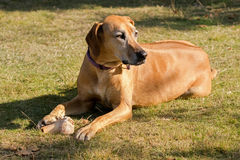 Brown dog lying on meadow protecting its bone, sunny afternoon Royalty Free Stock Photos