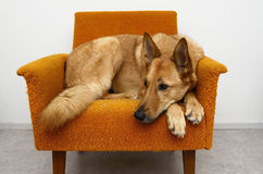 Brown dog lying in the orange chair Royalty Free Stock Photo