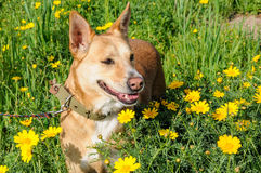 Brown dog in a meadow of flowers Stock Photos