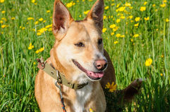 Brown dog in a meadow of flowers Royalty Free Stock Photos