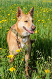 Brown dog in a meadow of flowers Royalty Free Stock Photography
