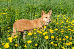 Brown dog in a meadow of flowers Royalty Free Stock Images