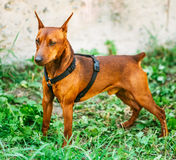 Brown Dog Miniature Pinscher Head Royalty Free Stock Images