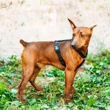 Brown Dog Miniature Pinscher Head Stock Photo