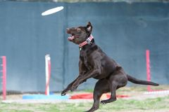 Brown dog missing a disc. Brown dog in the air after missing catching a disc stock images