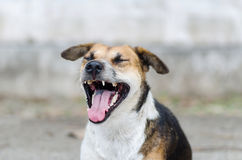 Brown dog is opening mouth and yawn Stock Photos